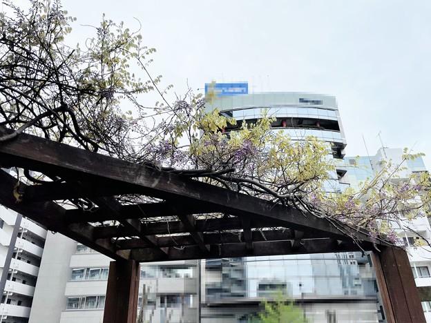 21.04.04.藤開花かよ……
