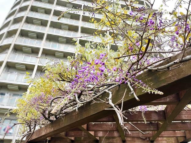 21.04.04.藤開花かよ……2