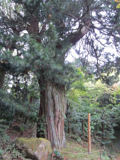 浄智寺(鎌倉市)コウヤマキ