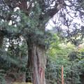 Photos: 浄智寺(鎌倉市)コウヤマキ