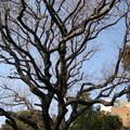 湯島聖堂(文京区)楷樹