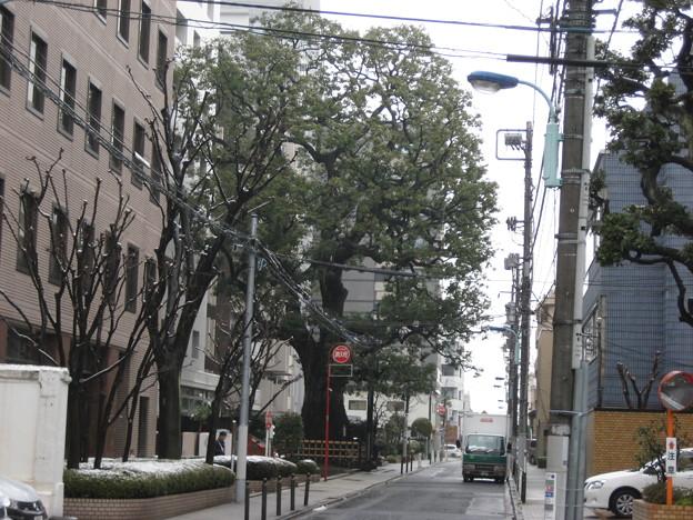 11.03.07.本郷弓町のクスノキ(本郷1丁目)
