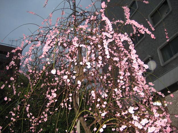 11.03.01.北野神社(牛天神。春日1丁目)紅梅