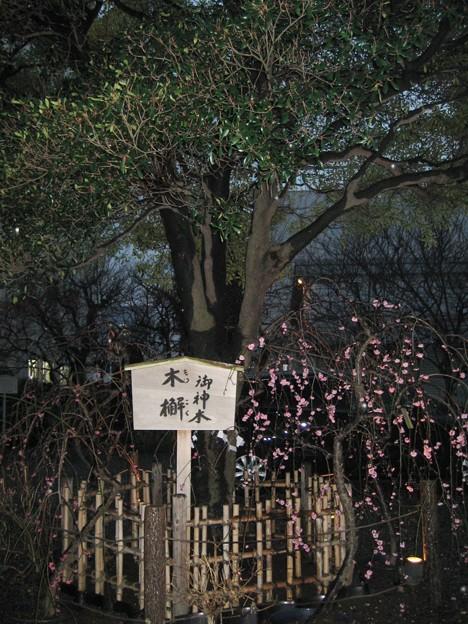 北野神社(牛天神。春日1丁目)御神木 木槲