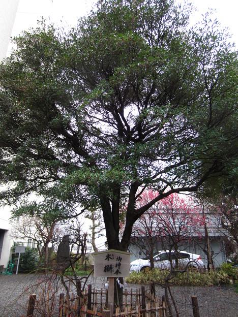 12.03.02.北野神社(牛天神。春日1丁目)御神木 木槲