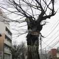 11.03.01.善光寺坂のムクノキ(小石川3丁目)