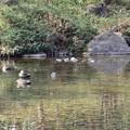 Photos: カモが泳ぐ池~