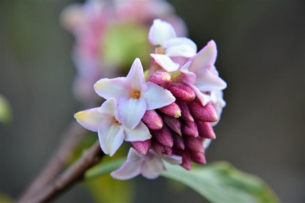 庭で沈丁花~