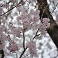 3月末の桜です~