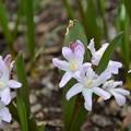庭の花、チノドクサ~