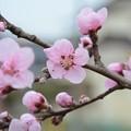 庭の桃の花~