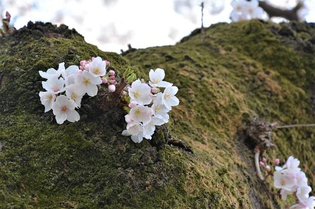 幹に咲く桜(姥桜というの・・)