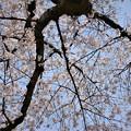 見上げて桜~