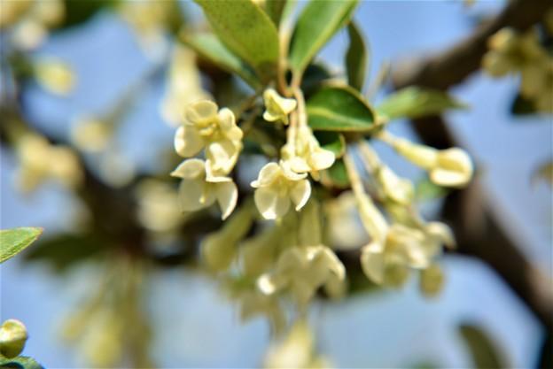 鉢植えのグミの花~