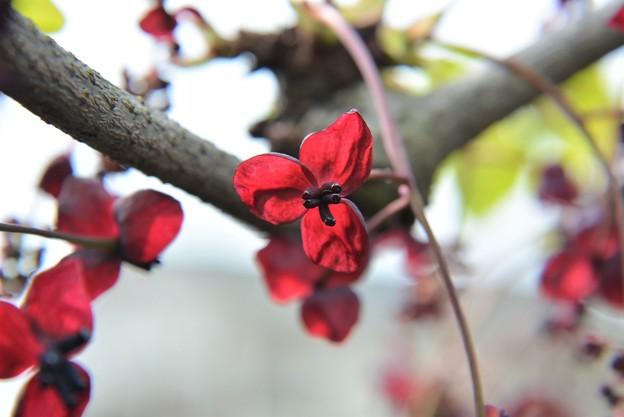 アケビの花です~