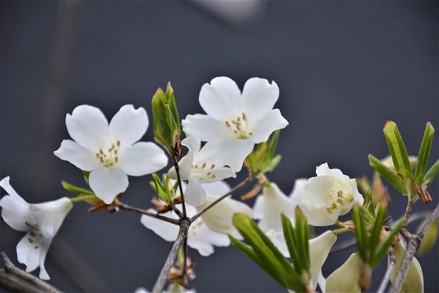 庭の白ヤシオツツジ~