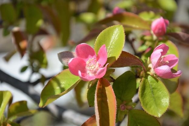 花梨の花~