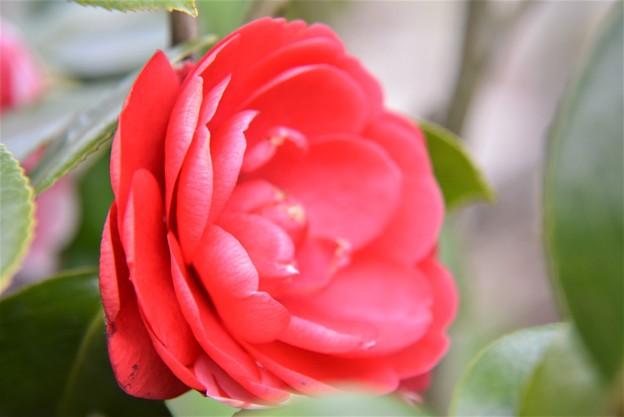 バラの様な椿~