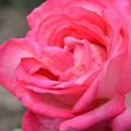 Photos: 赤いバラ~
