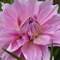 こんな色のダリアが咲きました~