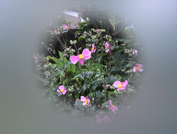 シュウメイギク咲きました~