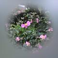 Photos: シュウメイギク咲きました~