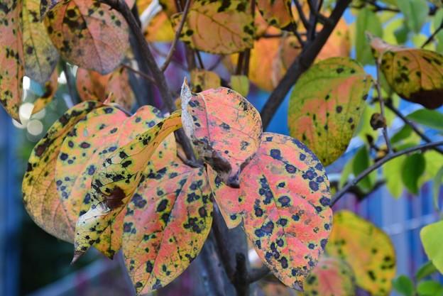 柿の葉の紅葉~
