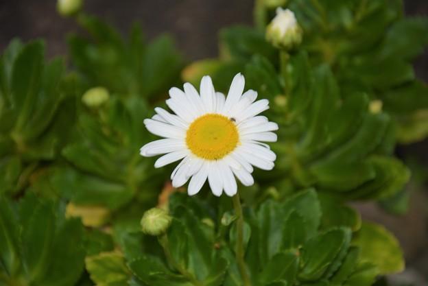 庭の浜菊~