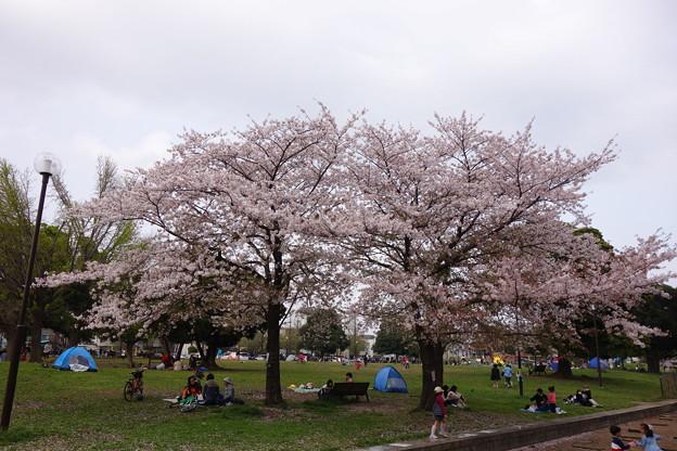大師公園  桜