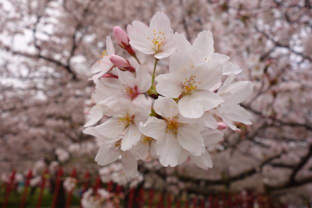 桜  綺麗(^^♪