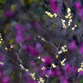 Photos: 春は黄