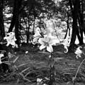 Photos: ゆりの森