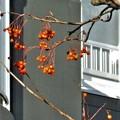 ナナカマドの輝く果実たち