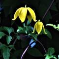 Photos: 黄色い帽子のクレマチス