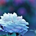 Photos: 大輪のバラ