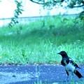 カササギの若鳥-4