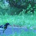 カササギの若鳥-5