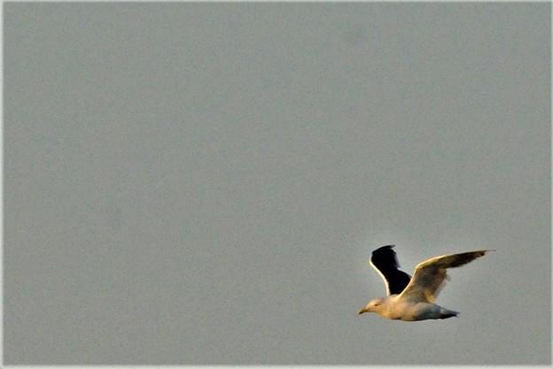 Photos: カモメの飛翔