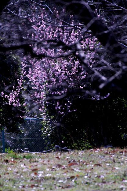 春へ誘う(いざなう)