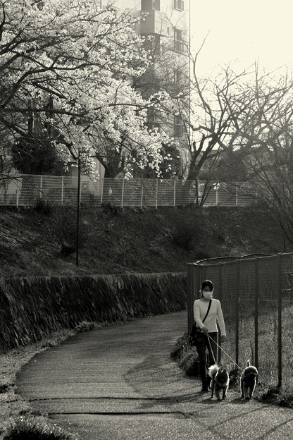 山桜の咲く小道