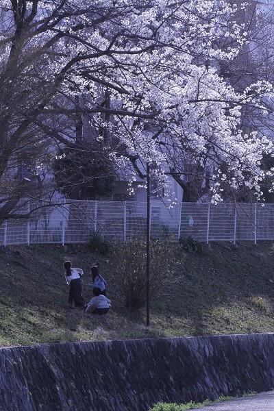 桜の樹の下で