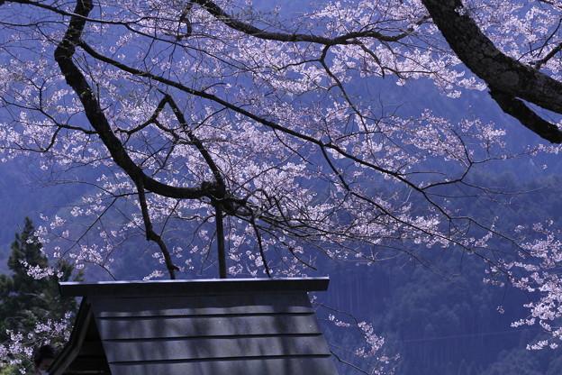 山の上の桜