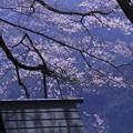 Photos: 山の上の桜