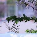 Photos: 校庭の桜