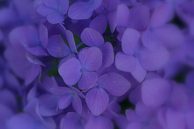 My heart is purple