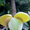 バショウの花