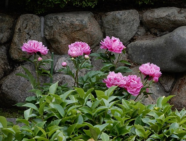 Photos: 芍薬ピンク 1