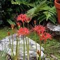 庭の彼岸花1