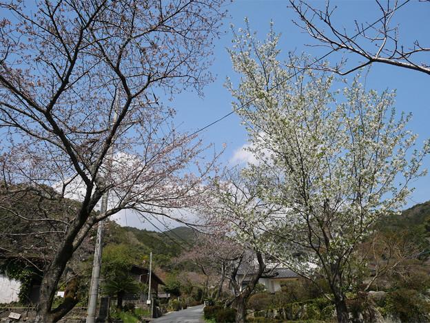 仁比山神社@2021 (8) 参道の桜