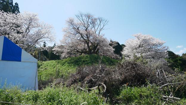 浅井の一本桜/五分咲き。。。駐車場から (2)